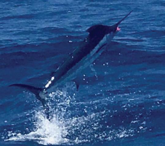 ¦ Capt. Moe's Lucky Fleet: Blue marlin on the Lucky Charm this morning — Capt. Moe 201 Margaret St Slip C1, Key West 305-304-8065 www.captainmoesluckyfleet.com