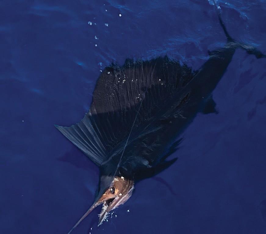 Southpaw Fishing Key West: Four hundred fathoms for these fish. — Capt. Brad Simonds 5950 Peninsular Ave., Key West 305-393-2306 southpawfishingkeywest.com