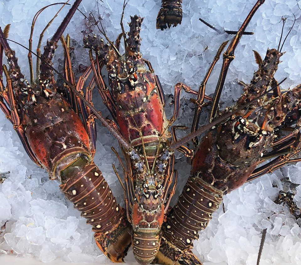 """¦ Fishbusterz Retail Seafood Market: Look at these monster lobsters! At the bottom of the middle lobster we placed a """"normal"""" size to give perspective. We have plenty in stock for your parties! — Fishbusterz Retail Seafood Market 6406 Maloney Ave., Key West 305-294-6456 www.keywestseafooddepot.com"""