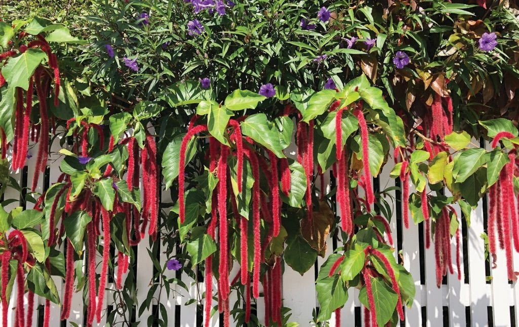 Firetail Chenille and Ruellia offer bursts of color in Key West gardens.