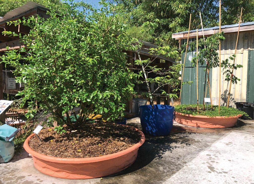 Even trees can be grown in containers, such as these barbados cherry, anona and carambola trees growing in baby pools at ECHO Global Farm in North Fort Myers. PHOTO COURTESY OF ECHO GLOBAL FARM
