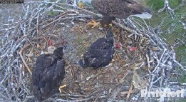 Watch bald eagles Harriet, M15 and their offspring 24/7 with this online stream. DICK PRITCHETT REAL ESTATE CAMERA