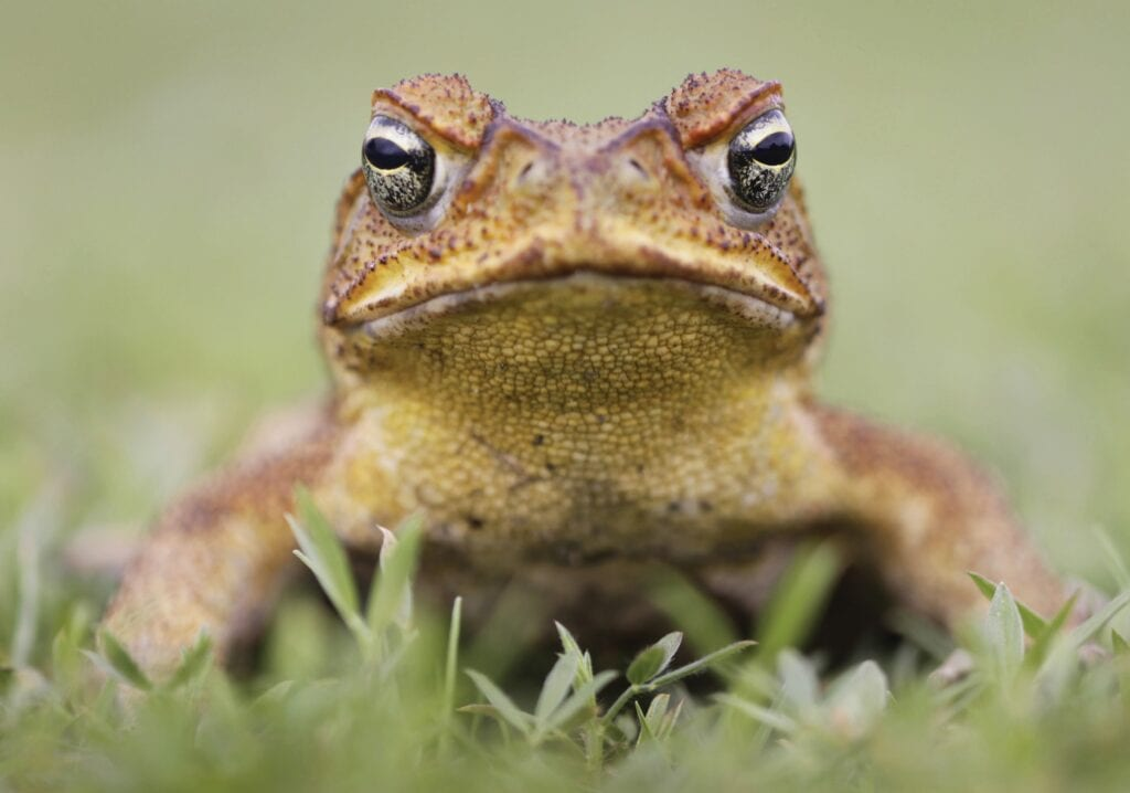 The very deadly-to-pets cane toad can be eliminated simply. COURTESY PHOTO