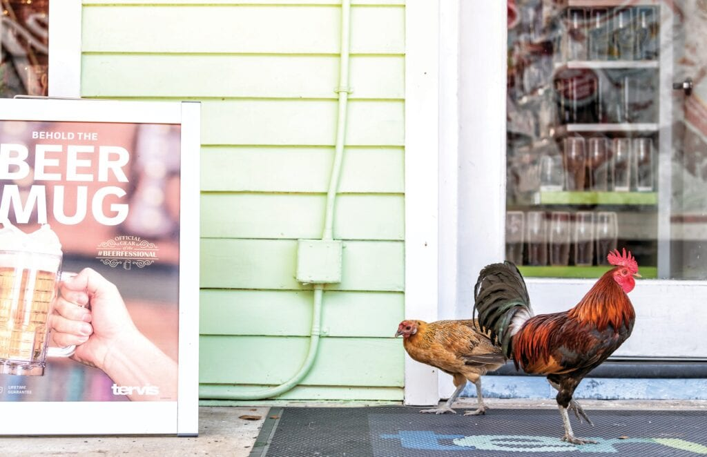 Feral chickens strut their stuff in front of the Tervis Store on Front Street in Key West. The chickens have become the city's unofficial mascots. COURTESY PHOTO