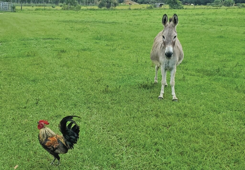 A Key West chicken makes a new friend at Peat Marsh Ranch outside Lake Okeechobee. ALL PHOTOS COURTESY KEY WEST WILDLIFE CENTER