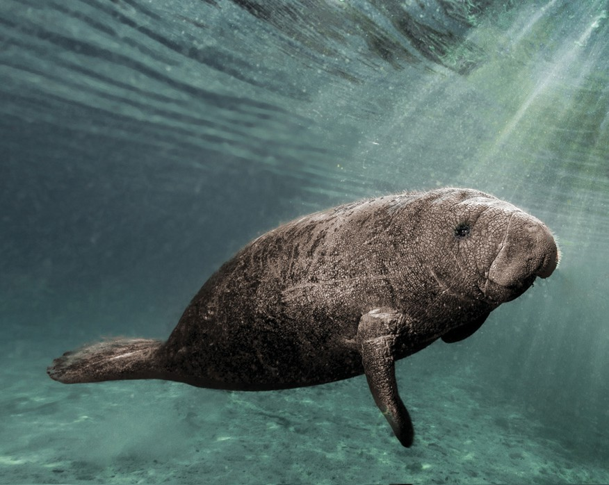 This young manatee was caught in a sunbeam as it swam just below the surface in Crystal River, Florida. JEFF STAMER / SHUTTERSTOCK