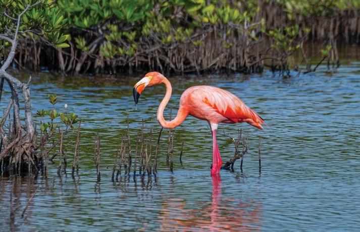 An American flamingo that was seen on Big Torch Key last summer. PHOTO BY MARK HEDDEN