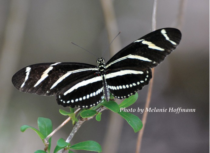 The zebra longwing butterfly is the Florida State Butterfly. Populations were decimated in Hurricane Irma, in 2017. COURTESY PHOTO
